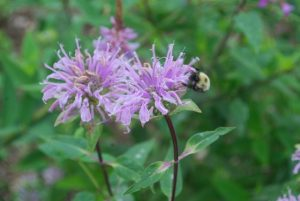 A bee on wild bergamot plant in the Sanctuary's Pollinator Garden
