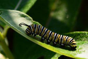 Monarch caterpillar on milkweek leaf